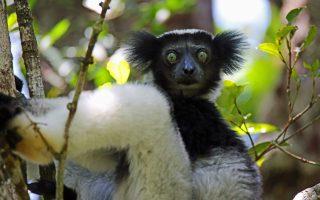 Madagaszkár körutazás - indri